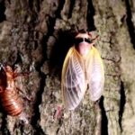 'Tastes Like Shrimp' – Virginia Restaurant Serves Cicada Tacos in Latest Push to Convince People to Eat Bugs (VIDEO)