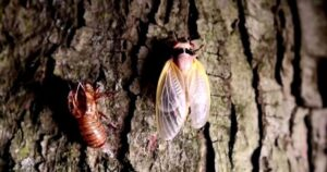 Read more about the article 'Tastes Like Shrimp' – Virginia Restaurant Serves Cicada Tacos in Latest Push to Convince People to Eat Bugs (VIDEO)