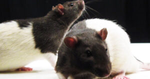 Read more about the article Furthering The Transgender Agenda: Study Funded By Chan Zuckerberg Initiative Has Male Rats Give Birth